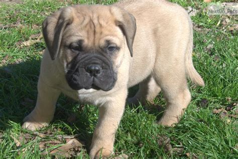 bullmastiff puppies near me bullmastiff puppy for sale near shreveport louisiana 6d06ba1c f4c1