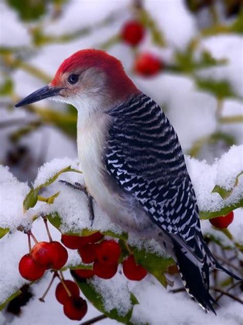 red headed woodpecker birds pinterest