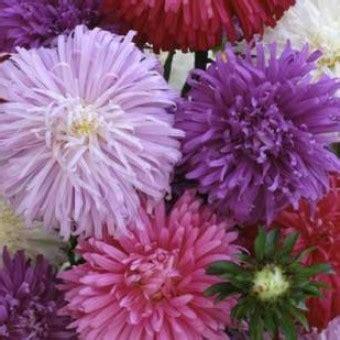 Bibit Benih Bunga Balsam Mawar Balsam 3 bibit bunga ostrich aster