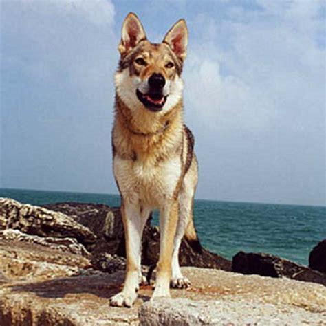 czechoslovakian wolfdog global dog breeds