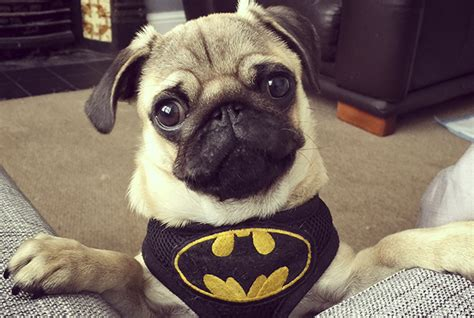 home cooked meals for my pug social pug profile batman the pug diary
