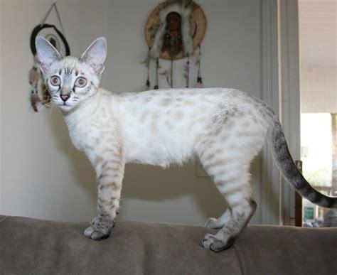 snow seal lynx point bengal cat bengal cat