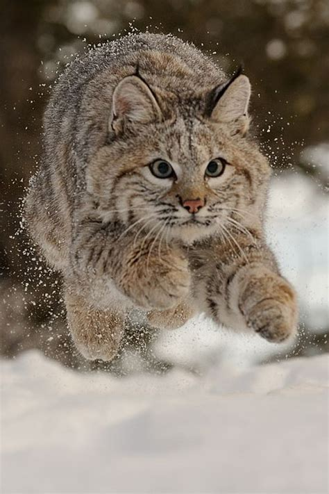 images  bobcat reference  pinterest pets