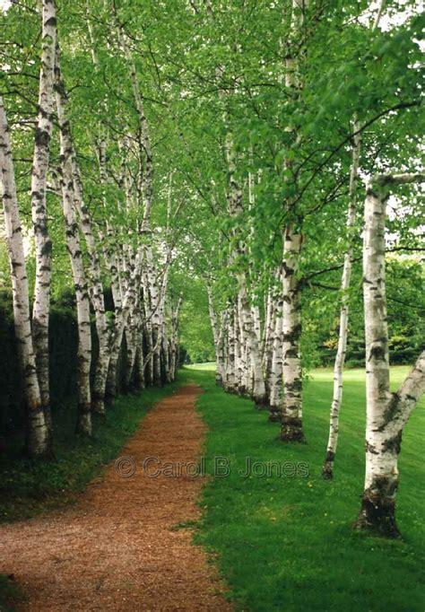 birch tree statue tree