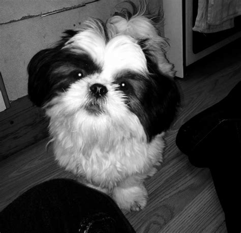 3 year shih tzu for sale pedigree shih tzu for sale wallasey merseyside