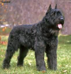 belgian sheepdog weight the dog in world bouvier des flandres dogs