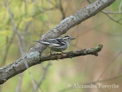 black & white warbler midwest bird watching