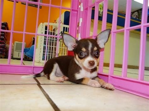 dogs for sale in ct chihuahua puppies for sale in hartford connecticut county ct fairfield