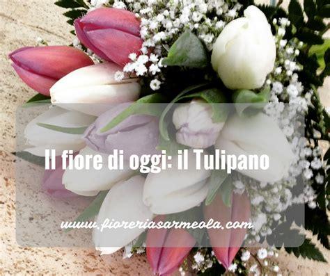 il fiore tulipano il fiore di oggi il tulipano