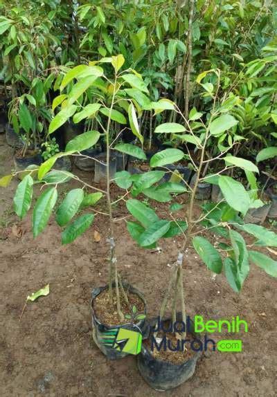 Harga Furadan 3 G inilah 7 panduan mudah dalam membudidayakan tanaman buah