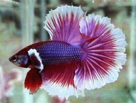 Pakan Larva Ikan Cupang budidaya ikan cupang karan saiyo
