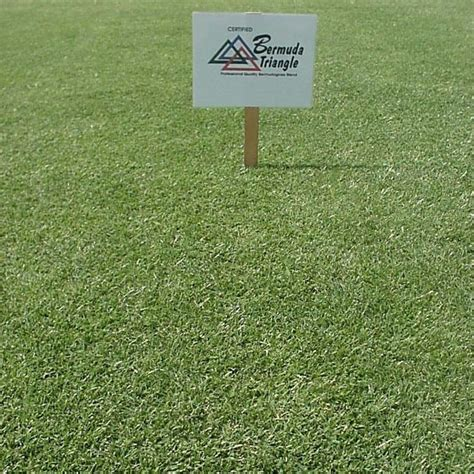 bermuda grass seed for lawns pasture golf courses putting greens