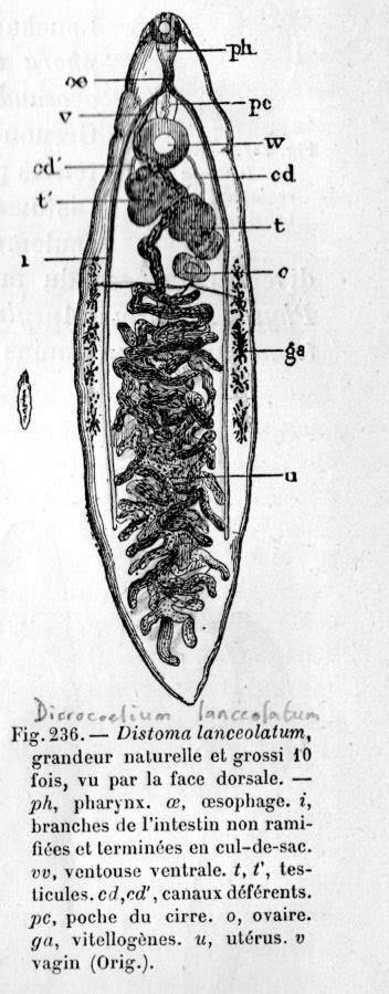 douve du foie (petite d.) - Dictionnaire des Sciences Animales