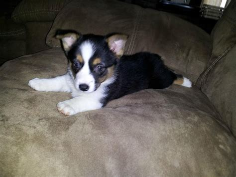 corgi australian shepherd mix puppies best 25 corgi australian shepherd mix ideas on australian shepherd corgi