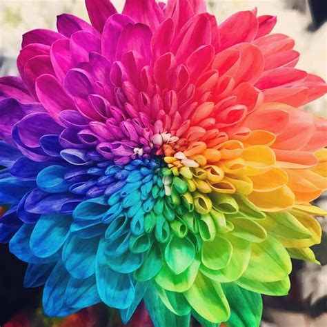chrysanthemum colors rainbow chrysanthemum colour theory psychology color
