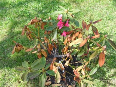Sch Dlinge An B Umen 3356 by Sch 228 Dlinge An Rhododendron Rhododendron Sch Dlinge