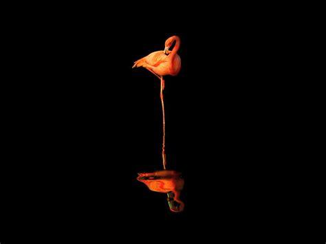 flamingo wallpaper black and white flamingos birds wallpapers flamingos birds backgrounds