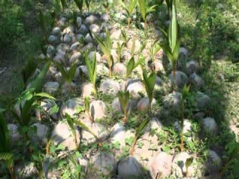 Bibit Kelapa Hibrida Thailand cara tanaman kelapa matak