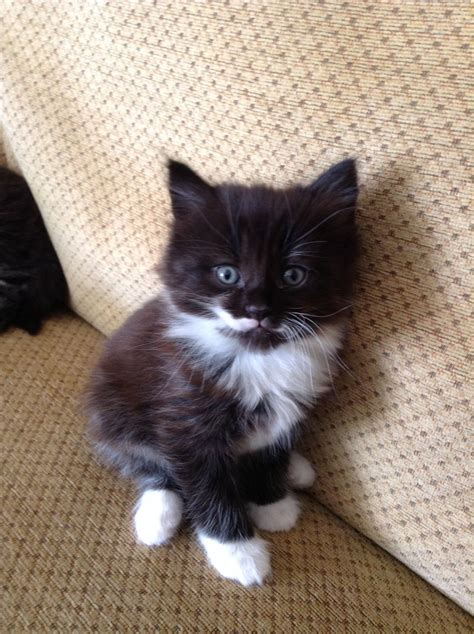 black and white kitten black and white fluffy kittens bexleyheath kent