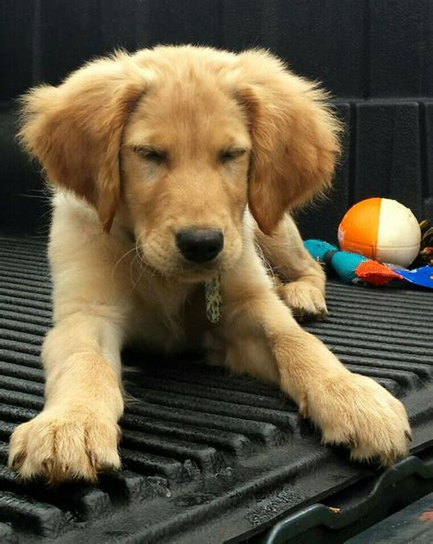 largest golden retriever on record 864 best images about for the of a on pets labs and golden