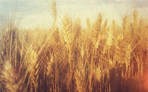Grain Tumblr Wheat Wallpaper Desktop Wallpaper   WallpaperLepi