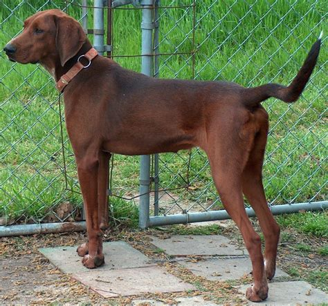 Hw Regbone redbone coonhound dogs breeds pets