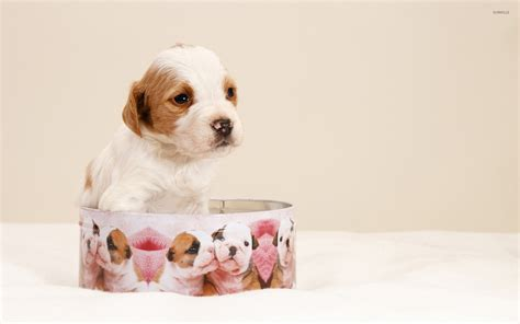 puppy in a box puppy in a box wallpaper animal wallpapers 24785
