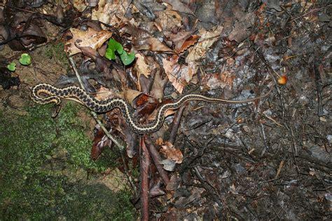Garter Snake Ky Eastern Garter Snake River Gorge Ky Flickr Photo