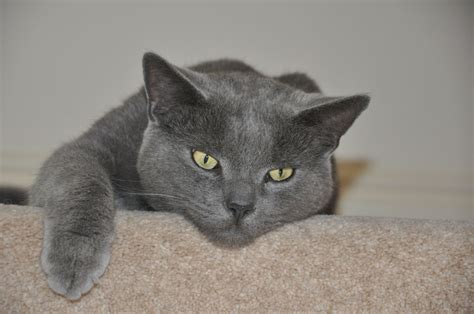 cats for sale russian blue cat for sale malvern worcestershire