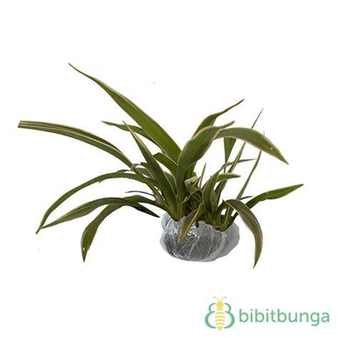tanaman lili paris bibitbungacom