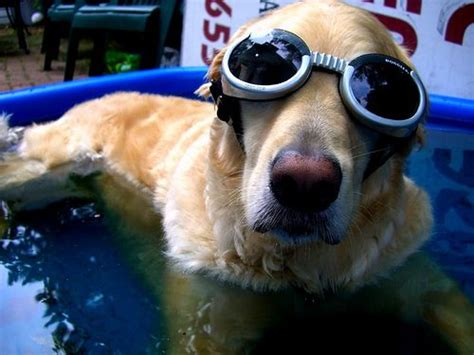why golden retrievers are the best 192 best great golden retriever stuff images on