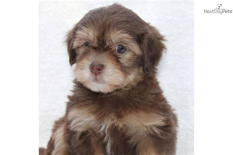chocolate havanese puppies for sale in ohio havanese puppy for sale near san francisco bay area california f3823b33 72e1