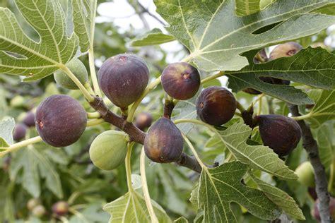 Bibit Buah Tien the health benefits of figs fruit and nut exchange