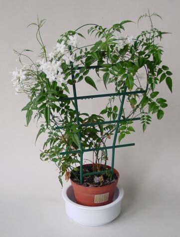 jasmine    grown     trellis