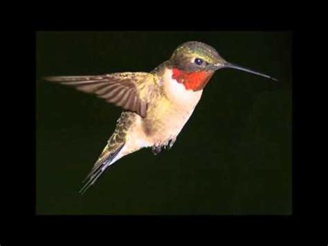 hummingbird singing a beautiful song doovi