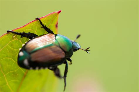 How to Get Rid of Japanese Beetles   Control Bugs and