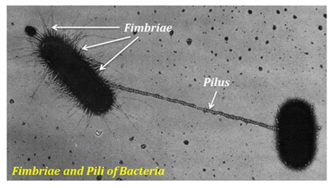 Pili Search Pili Bacteria Images Search