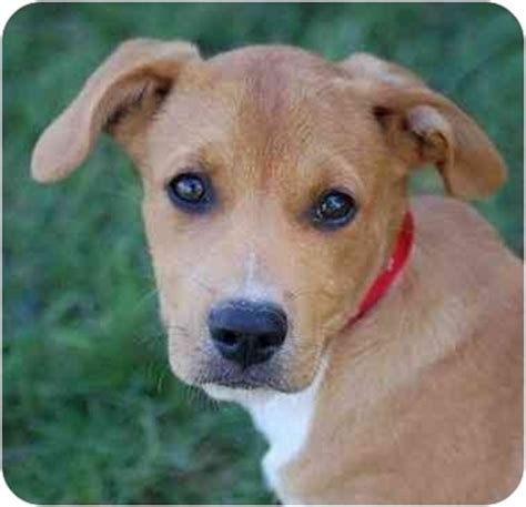 boxer puppies mn joey dougie adopted puppy mora mn corgi boxer mix