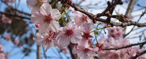 cherry blossom festival top things to do in san diego march 7 12 2017