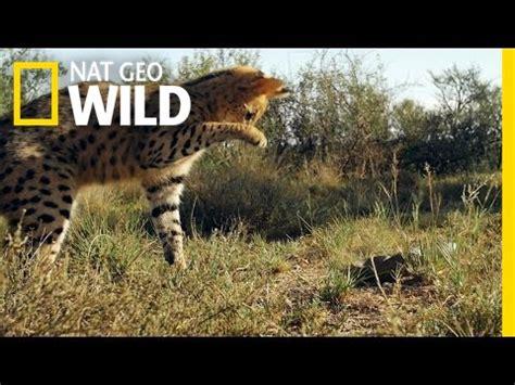 serval vs. snake | south africa | doovi
