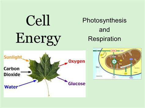 Photosynthesis And Respiration Ppt Download