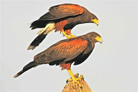 hawks that hunt in packs zoologger the only raptor known to hunt in cooperative
