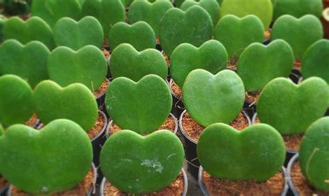 fiore pianta grassa la pianta grassa a forma di cuore casafacile