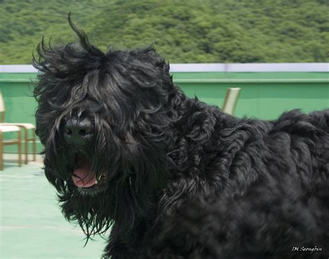black russian black russian terrier breed guide learn about the black