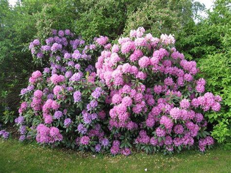 rododendro in vaso rododendro piante da giardino come curare il rododendro