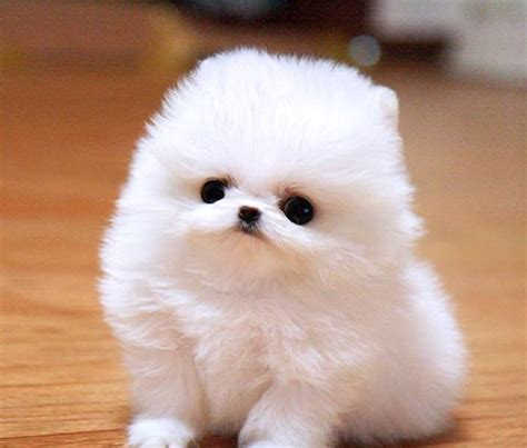 what is a teacup pomeranian teacup pomeranian makes me smile
