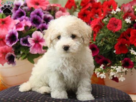 bichon puppies for sale in pa 17 best images about loving designer puppies for sale on morkie puppies