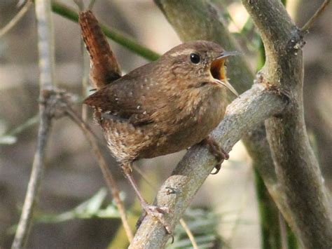 winter wren at the gilbert water ranch san diego birding
