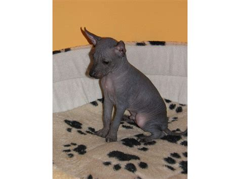 american hairless terrier puppies for sale american hairless terrier puppies for animals los angeles california
