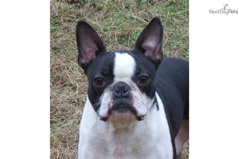 boston terrier puppies for sale in michigan miniature boston terriers for sale in mi breeds picture